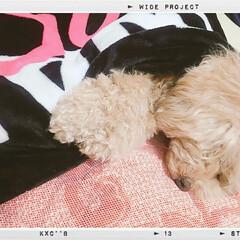 かわいい/可愛い/写真/ベストショット/犬のいる暮らし/犬との暮らし/... 一日中寝てるトイプードルの♡フクくん♡ …