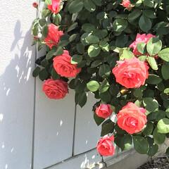 美しい/日常/バラ/ガーデン/花 工房の入り口に咲いているバラの花☺️ 毎…