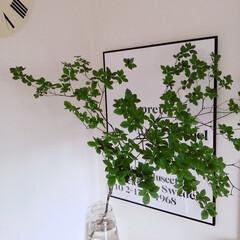 グリーンのある風景/植物/グリーンのある暮らし/植物のある生活/植物のある暮らし/ドウダンツツジ/... .。*♡ドウダンツツジ♡*。.  今年も…