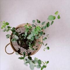 シーグラス/カルミュバスケット/カルミュ/植物のある暮らし/ユーカリポポラス/ポポラス/... .。*♡シーグラスバスケット♡*。.  …