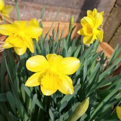 庭のある暮らし/お庭の花/水仙の花/春の花/お家の庭/花のある暮らし/... 先日、庭に咲いてくれたスイセン🌼💕 特に…