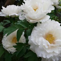 牡丹の花/牡丹/お庭の花/お庭/花のある生活/花のある暮らし 今年も見事に咲いたと連絡があり見に行って…