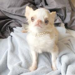 わんこ/FOXEY/アクセサリー/パール/チョーカー/愛犬/... FOXEYのチョーカーを愛犬用に作り変え…