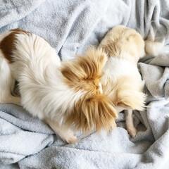 愛犬/わんこ/わんこのいる暮らし/チワワ/チワワ部/チワワ大好き/... 今治タオルのブランケットの上でじゃれ合う…