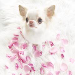 薔薇/愛犬/チワワ/チワワの入る暮らし/わんこのいる暮らし/チワワ大好き/... 薔薇風呂作りのために、薔薇の花びらを集め…
