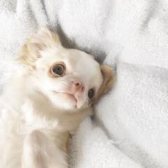 愛犬/ちわわ/チワワ大好き/わんこの写真/チワワ部 朝起きるとカーテンを開けて、愛犬の写真を…(1枚目)