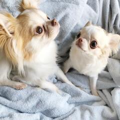 わんこ/愛犬/チワワ/チワワ大好き/チワワ部/わんこのいる暮らし/... 今治タオルのブランケットの上でくつろぐふ…