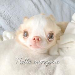 愛犬/わんこ/わんこのいる暮らし/暮らし/チワワ/チワワ大好き/... 天使のようなシャーロット♡ 親ばかですみ…
