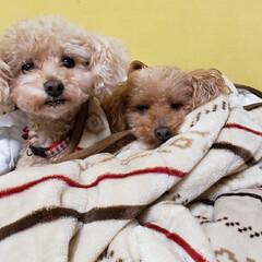 ペット/トイプー/犬のいる暮らし/犬と暮らす/犬 今日は寒いので毛布にくるまっておやすみな…(1枚目)