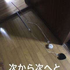 癒し/猫飼いのしあわせ/黒猫/にこ 昨夜、さぁ寝ようとするとおもちゃを運ぶ音…(2枚目)