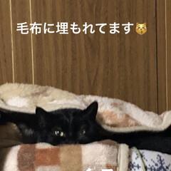 猫飼さんのしあわせ/癒し/黒猫/にこ/くろ/猫/... お正月用の首飾りくろとめんは可愛いの見つ…(2枚目)