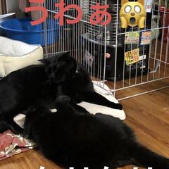 癒し/猫飼さんのしあわせ/くろ/にこ/黒猫 いつになくくろがハッスルしてます。にこに…(5枚目)