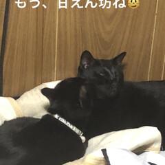 くろ/にこ/黒猫/めん/猫/猫飼さんのしあわせ/... 今の寝場所はくろとにこが布団の入った布団…(6枚目)