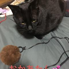 癒し/猫飼いのしあわせ/黒猫/にこ 昨夜、さぁ寝ようとするとおもちゃを運ぶ音…(1枚目)