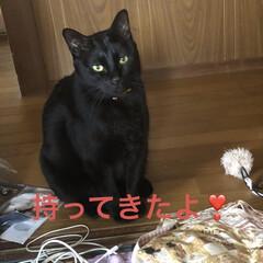 黒猫/にこ/癒し/猫飼のしあわせ 絶賛にこのブームはおもちゃを運ぶこと。 …(2枚目)