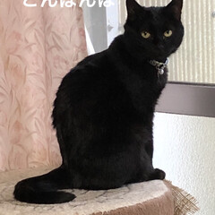 くろ/黒猫/癒し/猫飼いのしあわせ/猫 今回は、くろの特集😺 くろはにことめんの…