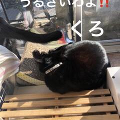 癒し/猫飼いのしあわせ/黒猫/にこ いつになく私につきまとうにこ。 リズム遊…(6枚目)