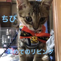 ハロウィン/癒し/猫飼さんのしあわせ/猫/ちび/セリア/... 今日は慣らし保育3時間。 先住猫のくろ、…