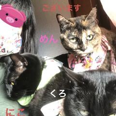 新年挨拶/お正月スタイ/黒猫/くろ/にこ/猫/... 明けましておめでとうございます 早朝から…