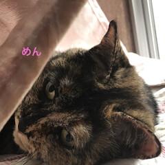 黒猫/くろ/にこ/猫/めん 朝ご飯食べて遊びタイム。(10枚目)