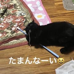 癒し/猫飼いのしあわせ/黒猫/くろ 今日のくろはよく遊ぶ。 うちに入った時は…(3枚目)