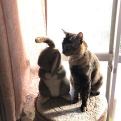癒し/猫飼いのしあわせ/めん/猫 めんも大きくなりました。仔猫の頃にこのウ…