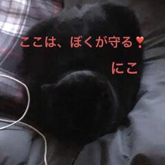 くろ/にこ/黒猫/めん/猫/癒し/... 今日の猫様たち。にこは私がいない時必ず私…