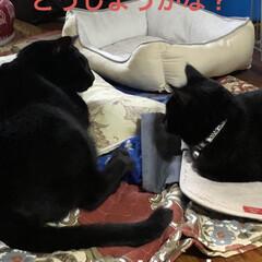 癒し/猫飼さんのしあわせ/くろ/にこ/黒猫 いつになくくろがハッスルしてます。にこに…(3枚目)