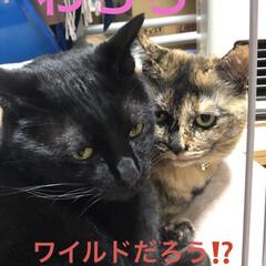 猫/めん/黒猫/にこ/癒し/猫飼いのしあわせ/... ここしばらくめんとにこはお互いを意識して…(2枚目)