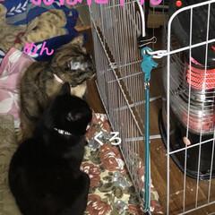 朝ご飯/にこ/くろ/黒猫/めん/猫/... 今朝起きてリビングへ行くとにこくんお気に…