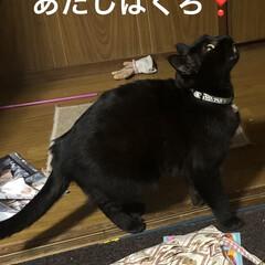癒し/猫飼いのしあわせ/黒猫/くろ 今日のくろはよく遊ぶ。 うちに入った時は…(1枚目)
