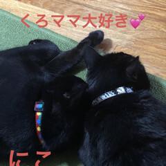 黒猫/くろ/にこ/癒し/猫飼いのしあわせ/猫 にこはくろママに甘え出すと大きな身体にあ…