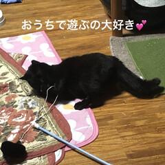 癒し/猫飼いのしあわせ/黒猫/くろ 今日のくろはよく遊ぶ。 うちに入った時は…(2枚目)