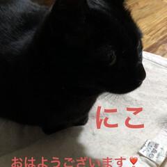 めん/猫/黒猫/くろ/にこ/朝のご挨拶 今朝の猫様方の様子です。いつになく元気い…
