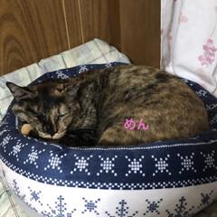 黒猫/くろ/にこ/猫/めん 夕ご飯食べたら寝室で寝るのがこの頃の定番…(2枚目)
