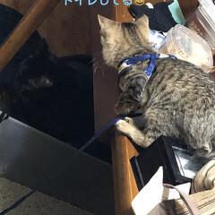 黒猫/にこ/くろ/猫/めん/ちび/... 日に日に一緒にいる時間が増えた4匹。仲良…
