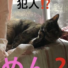 猫/めん/猫飼のしあわせ/癒し 昨日今日となんだかんだと動いてさぁそろそ…