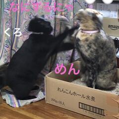猫/めん/黒猫/くろ/にこ 猫さま朝から元気です❣️ おもちゃで遊ん…