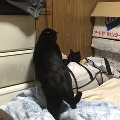 くろ/にこ/黒猫/めん/猫/猫飼さんのしあわせ/... 今の寝場所はくろとにこが布団の入った布団…(3枚目)