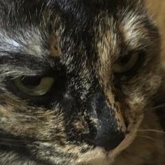くろ/にこ/黒猫/めん/猫/猫飼さんのしあわせ/... 今の寝場所はくろとにこが布団の入った布団…(9枚目)