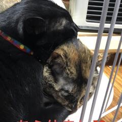 猫/めん/黒猫/にこ/癒し/猫飼いのしあわせ/... ここしばらくめんとにこはお互いを意識して…(3枚目)