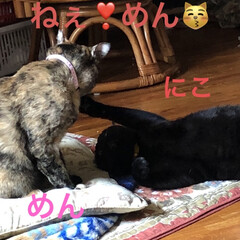 きょうだい/猫/めん/黒猫/にこ/猫飼いのしあわせ/... 昨日くろがハイテンションでにこやめんにや…