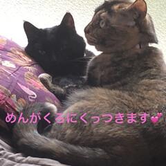 黒猫/くろ/にこ/猫/めん にこもめんもくろが大好き💕 少し涼しくな…(5枚目)
