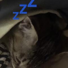 猫/猫の保育園/ちび いつの頃からかちびは2階で寝る時次女の布…(4枚目)