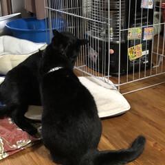 癒し/猫飼さんのしあわせ/くろ/にこ/黒猫 いつになくくろがハッスルしてます。にこに…(8枚目)