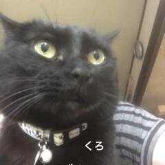 晩ご飯/黒猫/くろ/にこ/めん/猫 こんばんはです。今日も猫たちは元気に過ご…(1枚目)