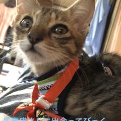 ハロウィン/癒し/猫飼さんのしあわせ/猫/ちび/セリア/... 今日は慣らし保育3時間。 先住猫のくろ、…(4枚目)