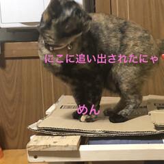 猫飼いのしあわせ/癒し/めん/猫 めんちゃんの特集です。 本能のままに動く…(5枚目)