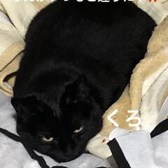 親子/黒猫/猫/くろ/めん/にこ 新しい布団に戸惑う猫様たち。寝室に入って…