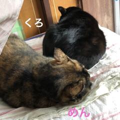 クリスマスツリー/癒し/猫飼いのしあわせ/猫/めん/黒猫/... 通院帰りに買ったフェルトでクリスマス飾り…(3枚目)